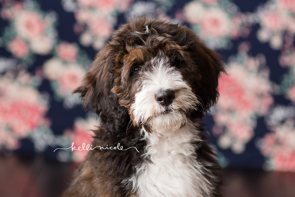 bernadoodle, doodle, kelli nicole photography, houston pet photographer, houston pet photography, pet photography, dog photographer, doodle photographs, puppy, dog, texas doodles, bernadoodle puppy, studio, plm, paul c buff, color, floral background
