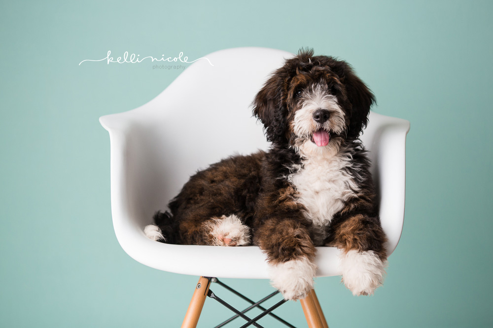 bernadoodle, doodle, kelli nicole photography, houston pet photographer, houston pet photography, pet photography, dog photographer, doodle photographs, puppy, dog, texas doodles, bernadoodle puppy, studio, plm, paul c buff, color, green background, mint background