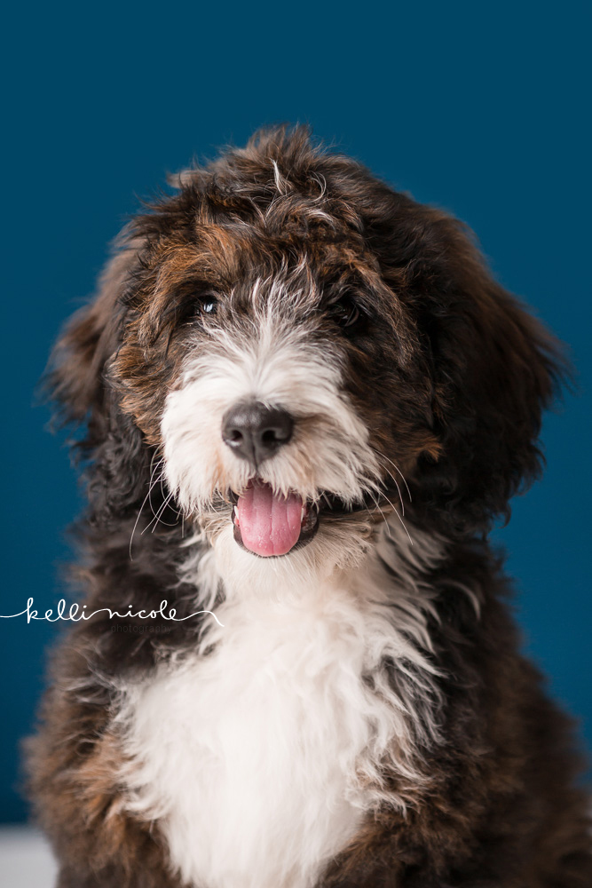 bernadoodle, doodle, kelli nicole photography, houston pet photographer, houston pet photography, pet photography, dog photographer, doodle photographs, puppy, dog, texas doodles, bernadoodle puppy, studio, plm, paul c buff, color, blue background, teal background
