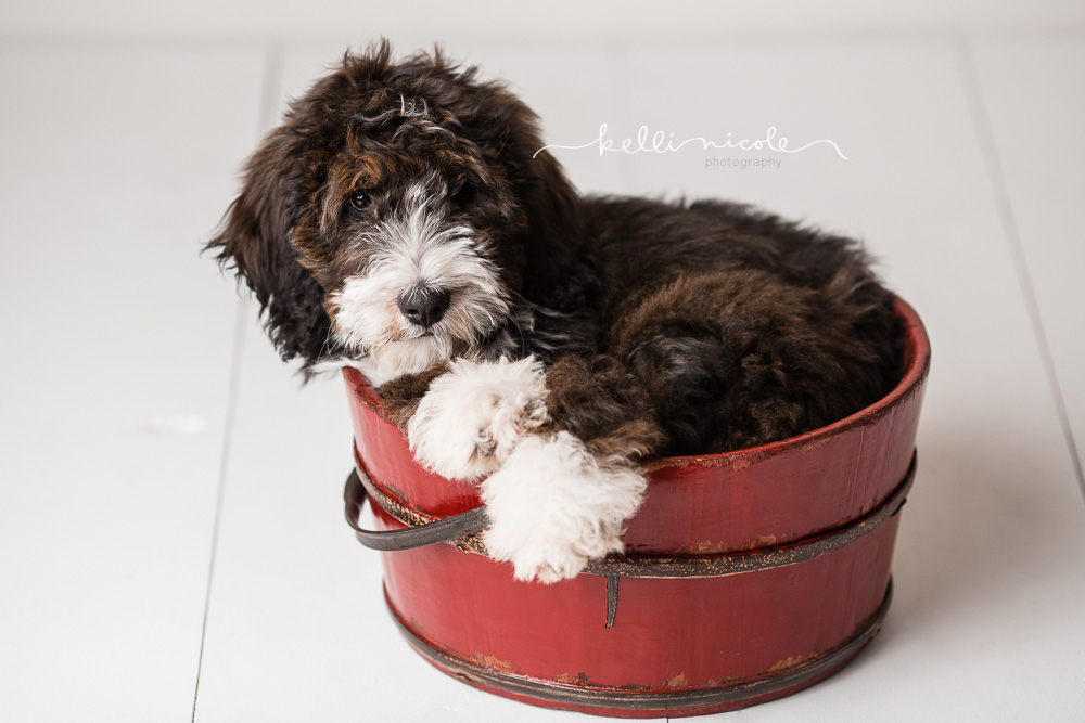 bernadoodle, doodle, kelli nicole photography, houston pet photographer, houston pet photography, pet photography, dog photographer, doodle photographs, puppy, dog, texas doodles, bernadoodle puppy, studio, plm, paul c buff, color, red bucket, puppy in a bucket